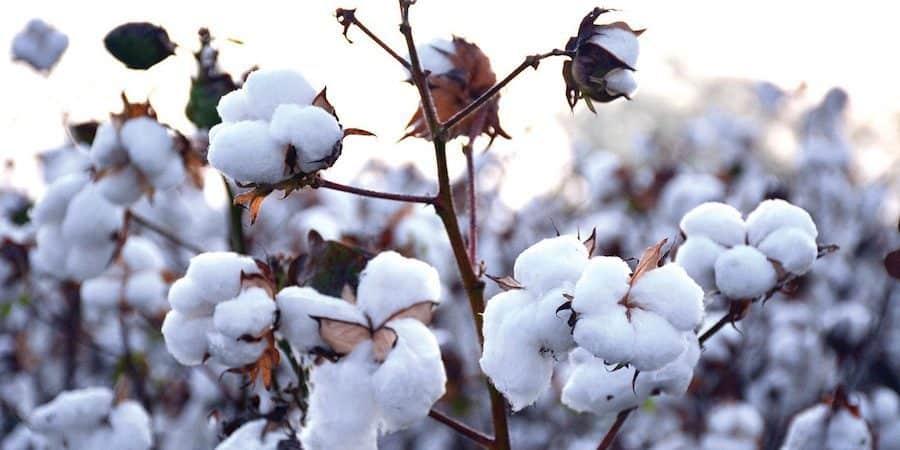 non-organic cotton farming